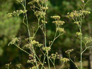 Plantas pintorescas. Foeniculum vulgare.