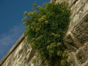 Crithnum maritimum. Plantas pintorescas.