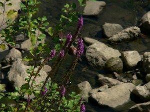 Plantas pintorescas. Lithrum salicaria.