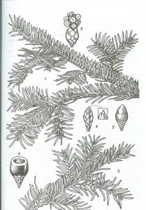 Taxus Baccata.
